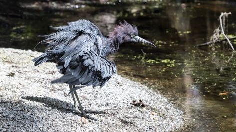 Little Blue Heron taking bath