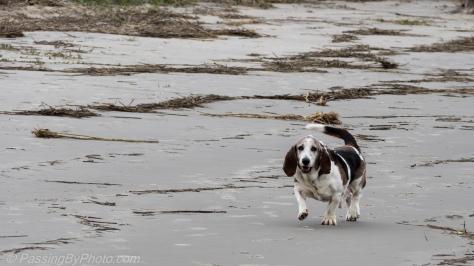 Basset Hound at the Beach