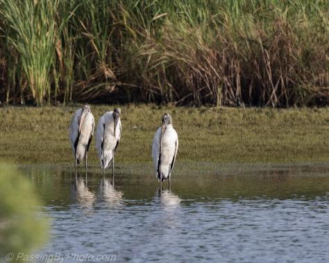 Wood Stork Walk