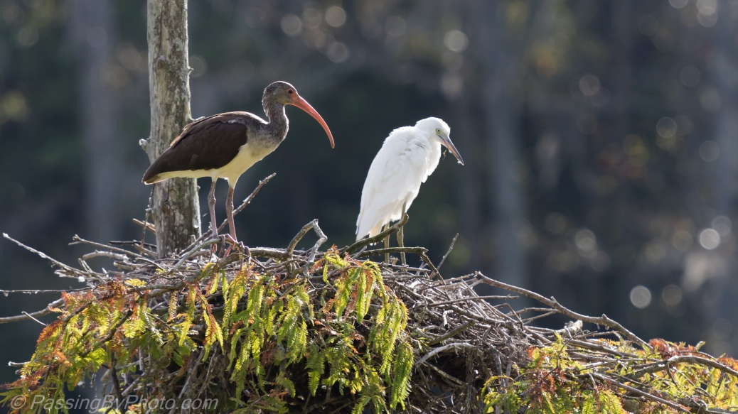 Ibis and Little Blue Heron