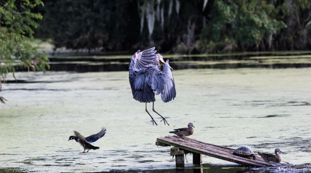Great Blue Heron Landing over Wood Ducks
