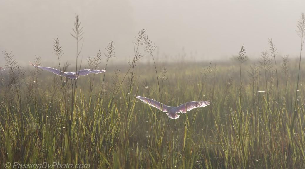 Roseate Spoonbills Landing in Fog