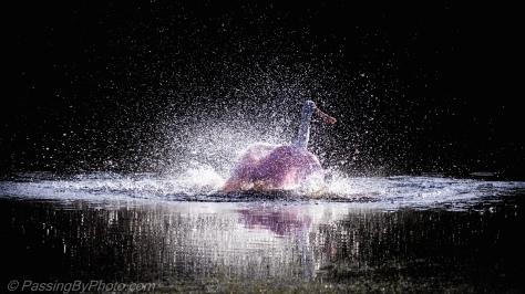 Roseate Spoonbill