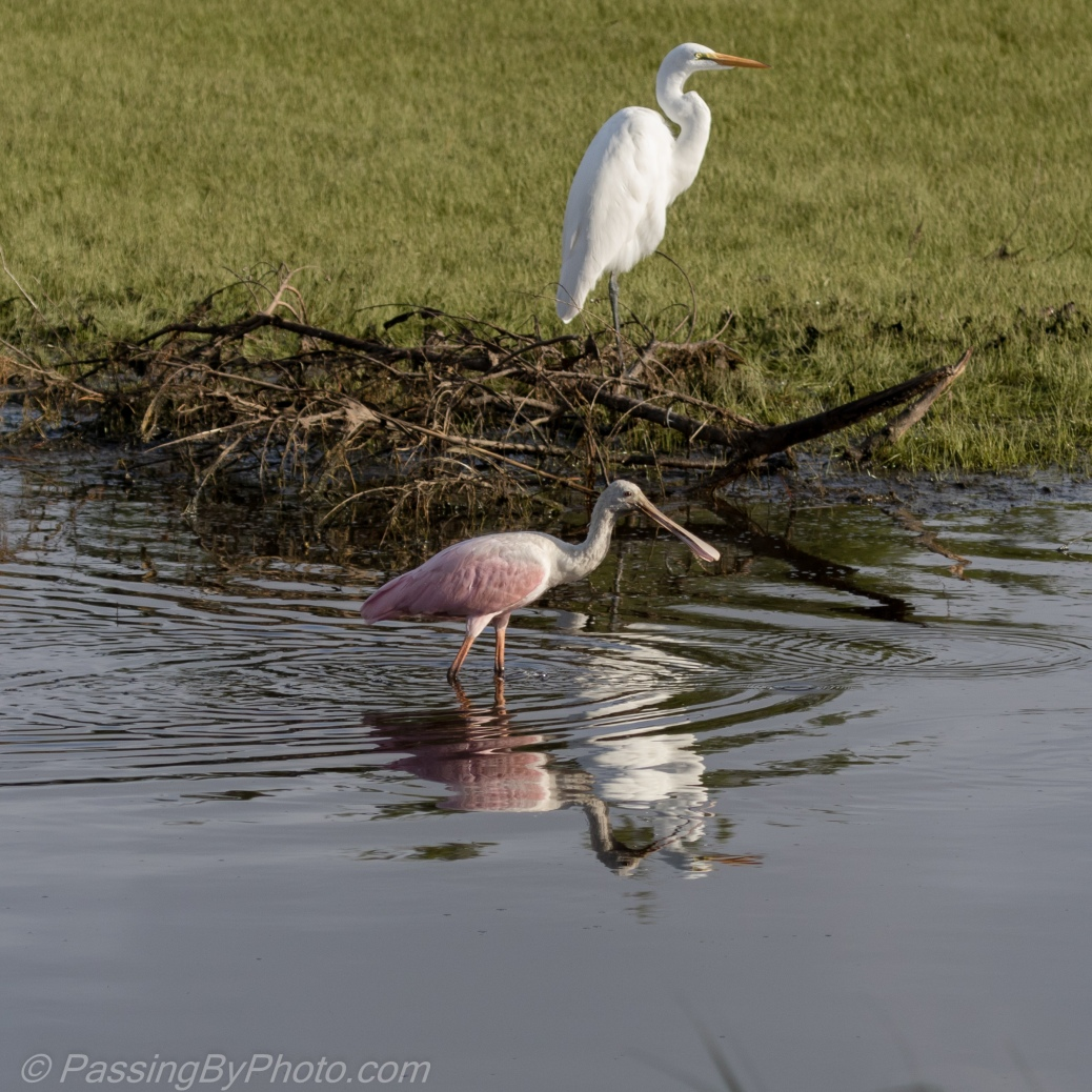 Roseate Spoonbill and Great Egret Reflection