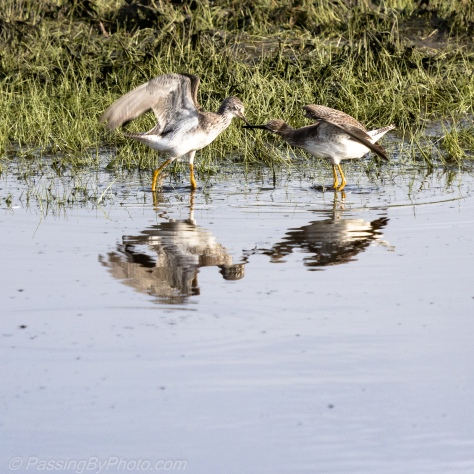 Yellowlegs Sparring