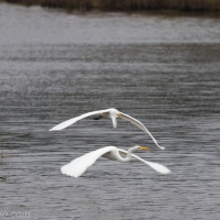 Follow Me: Great Egrets