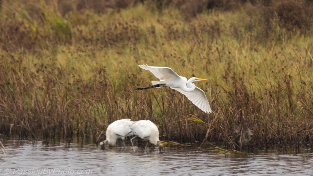 Great Egret Flying Low over Wood Storks