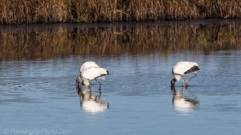 Feeding Wood Storks