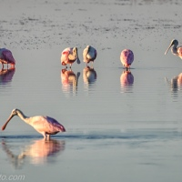 Sunrise on Roseate Spoonbills