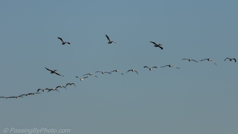 White Pelican Flock