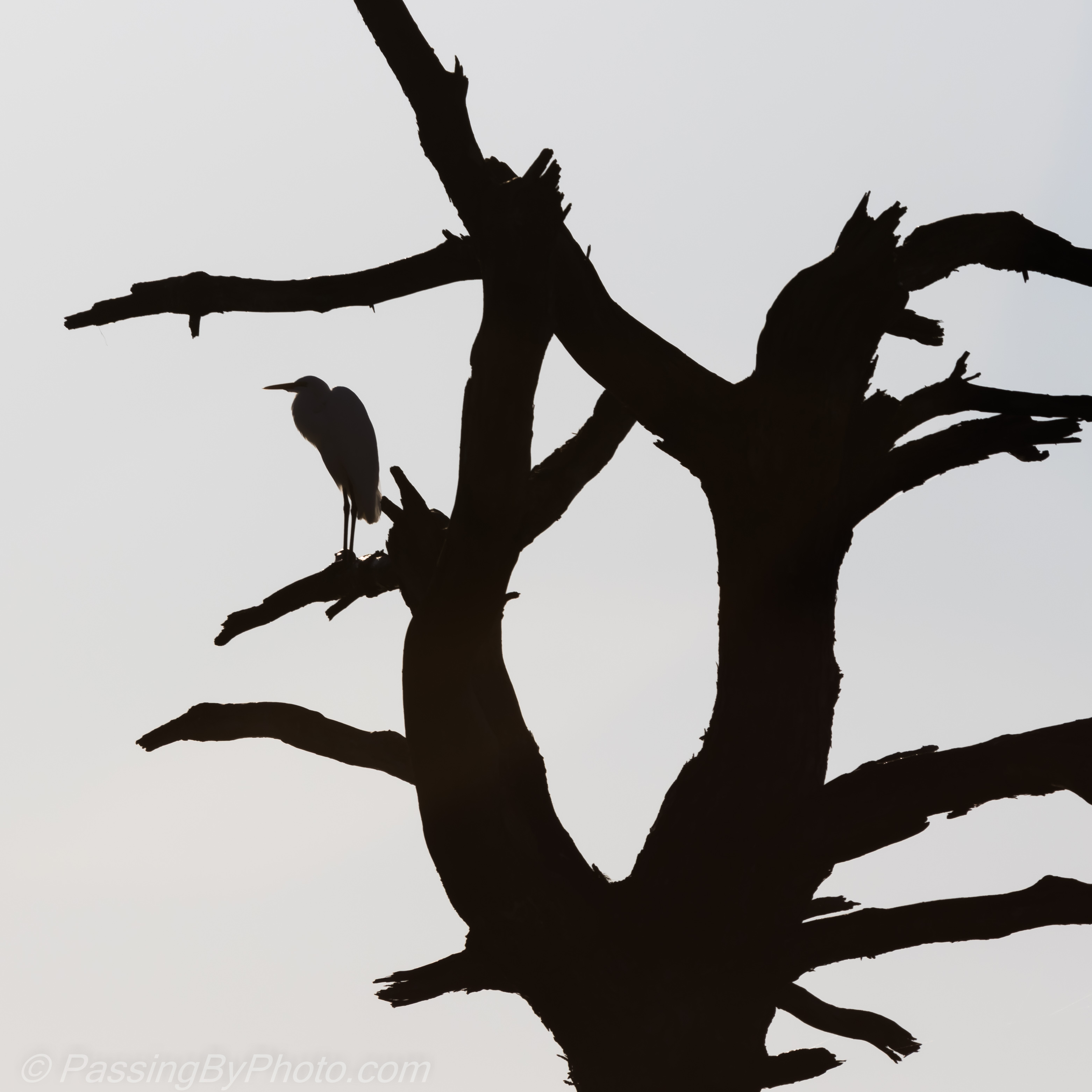 great egret silhouette in tree passing by photo