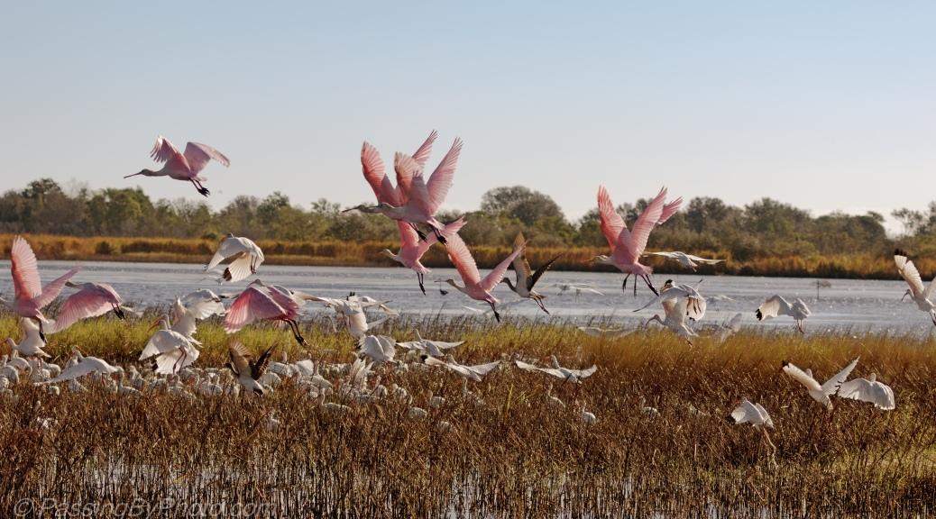 Roseate Spoonbills and Ibis