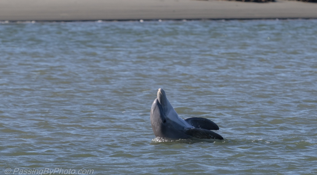 Dolphins showing off in the river