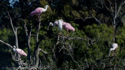 Roseate Spoonbills in Tree
