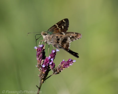Long Tailed Skipper