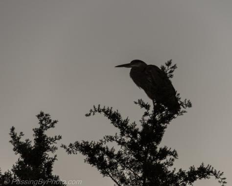 Sun Rising Great Blue Heron