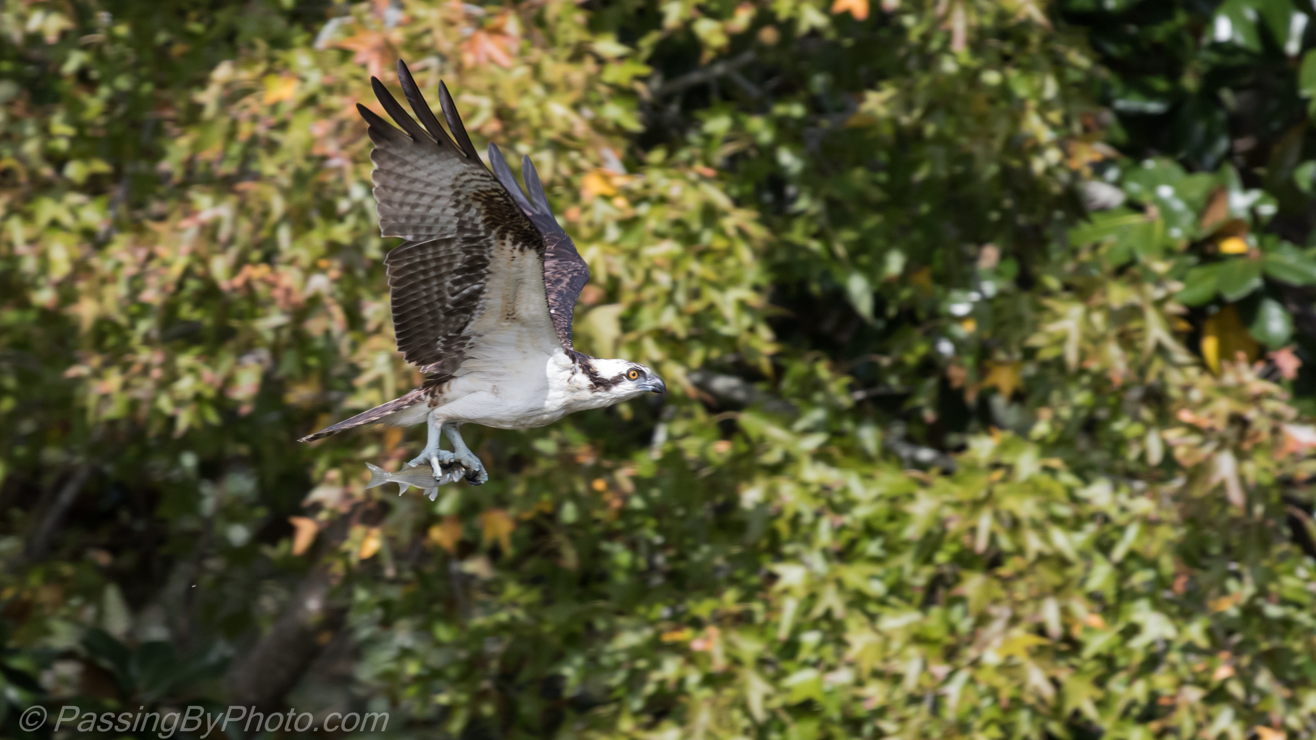 Osprey catch of the day part 1 passing by photo for Osprey catching fish