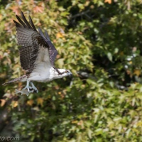 Osprey Catch Of The Day, Part 1