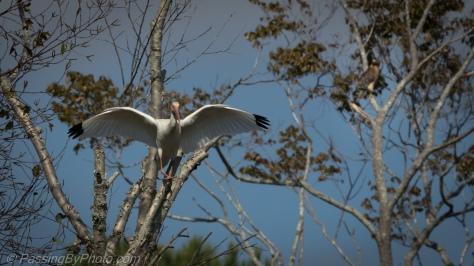 Ibis Landing Next to Hawk