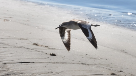 Willet in Flight