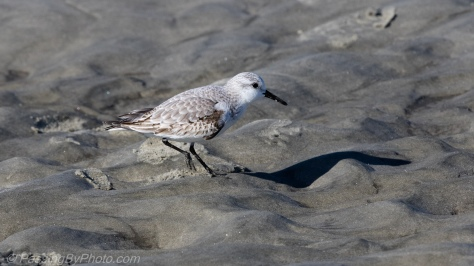Shorebird Peep