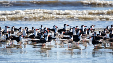 Black Skimmers and Terns