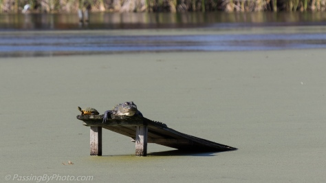 Alligator and Turtles