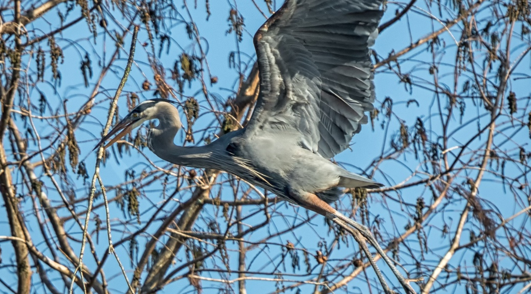 Great Blue Heron with Stick