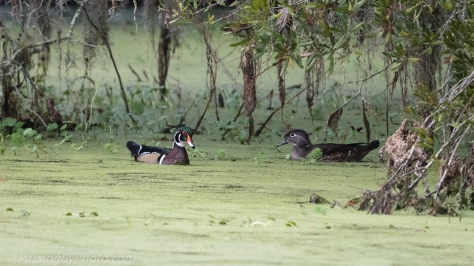 Wood Duck Pair in Duck Weed