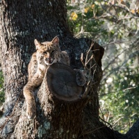 Day Out With New Camera: Bobcat
