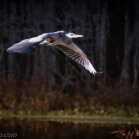 Great Blue Heron Flight Path