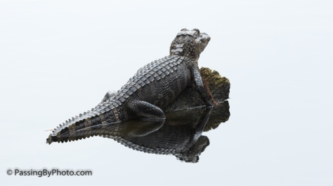 Alligator on a Rock