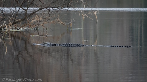 Alligator Swimming Across Pond
