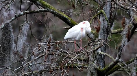 Pair of White Ibis