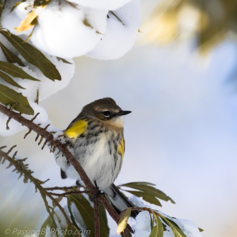 Yellow-rumped Warbler in the Snow