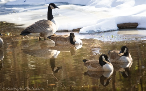 Canada Geese in a Snowy Pond