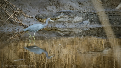 Little Blue Heron and Alligator