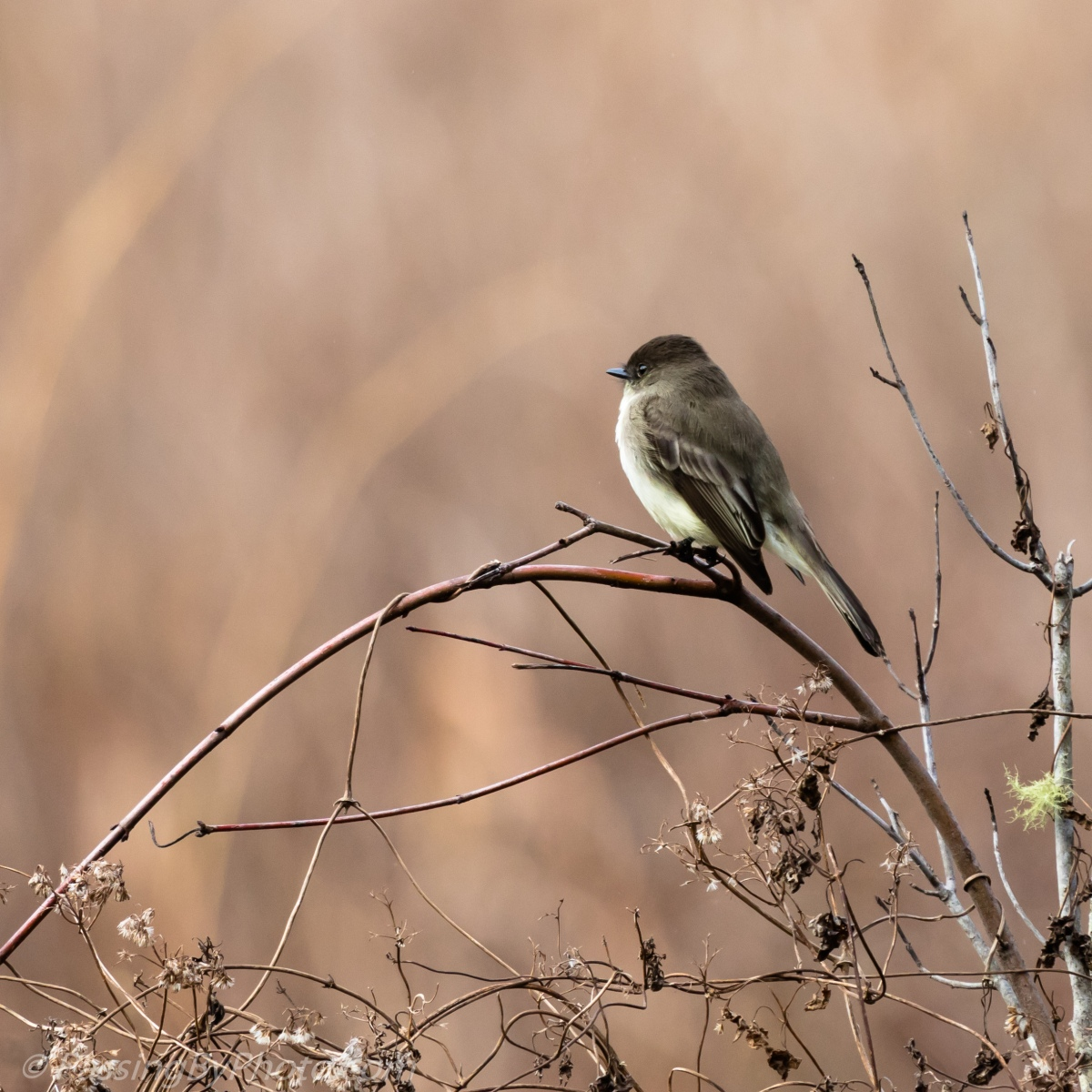 Eastern Phoebe, Blue and Brown