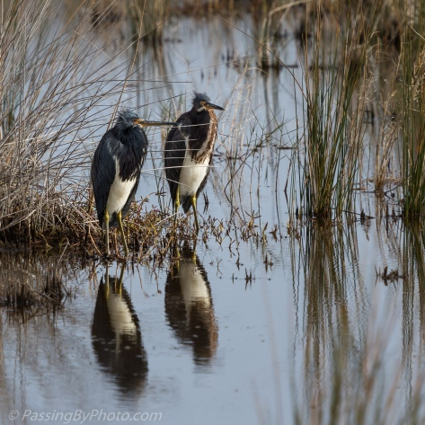 Tricolored Herons