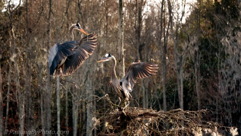 Great Blue Heron Pair Nesting