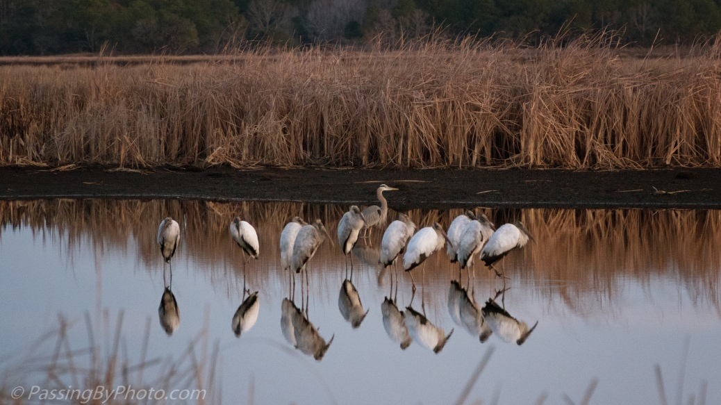 Wood Storks and Great Blue Heron