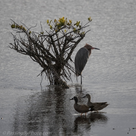 Reddish Egret and pair of Blue-winged Teals