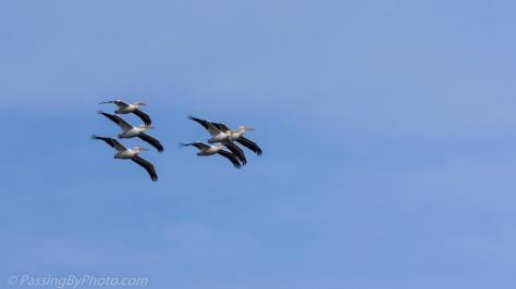 American White Pelicans in Flight