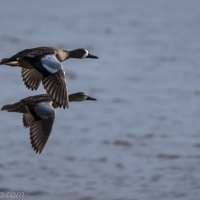 Ducks in Flight, Two Pairs