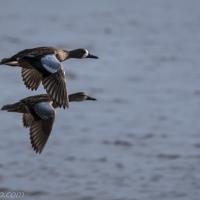 Ducks in Flight, Two Pairs