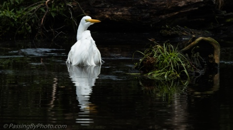 Great Egret Chest Deep in Water