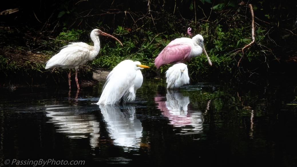 White Ibis, Great Egret, Roseate Spoonbill and Snowy Egret