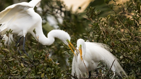 Great Egret Pair