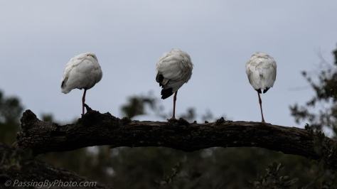 Three White Ibis in a Row