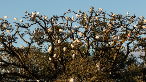 Crowded Rookery Tree